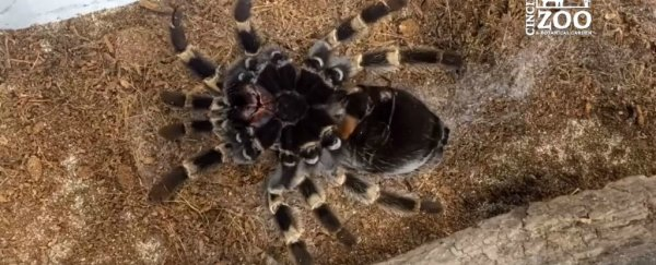This disturbing timelapse video shows a tarantula crawling out of its own skin