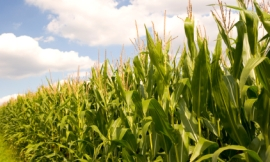 Wicki58_-_corn_field