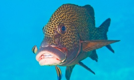 cleaner_fish_-_uQ