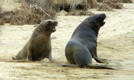 dan_taylor_Flickr_-_hooker_sea_lion