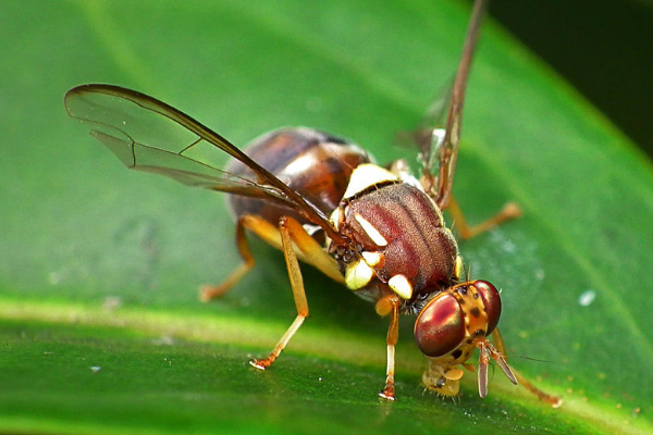 Australian scientists may have found the key to controlling fruit flies without pesticides