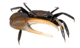 anthonyjhall-FiddlerCrab-iStock