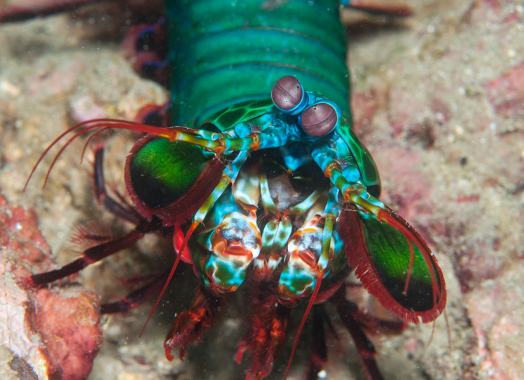 Mantis Shrimps Can See Cancer, And Scientists Have Now Created a Camera That Does The Same