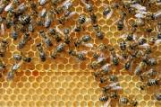 How bees make hexagonal honeycombs