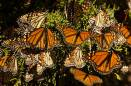 Monarch butterflies avoid getting lost by using a natural magnetic compass