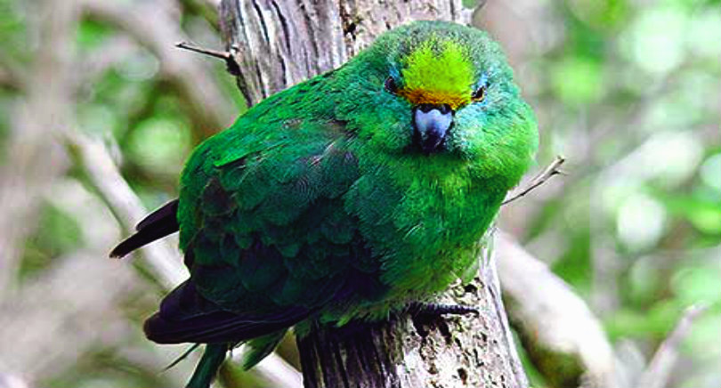 orange-fronted-parakeet_MasseyUniversity