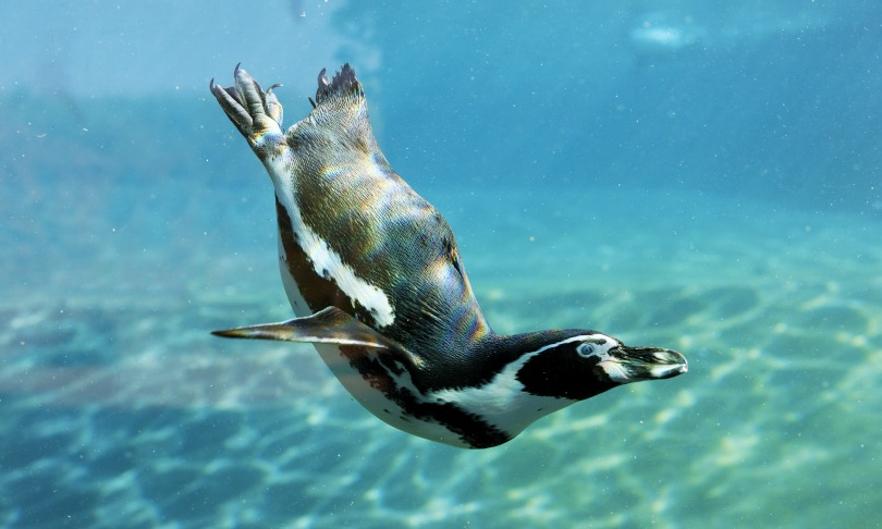 From flapper to flipper: how the penguin lost its flight